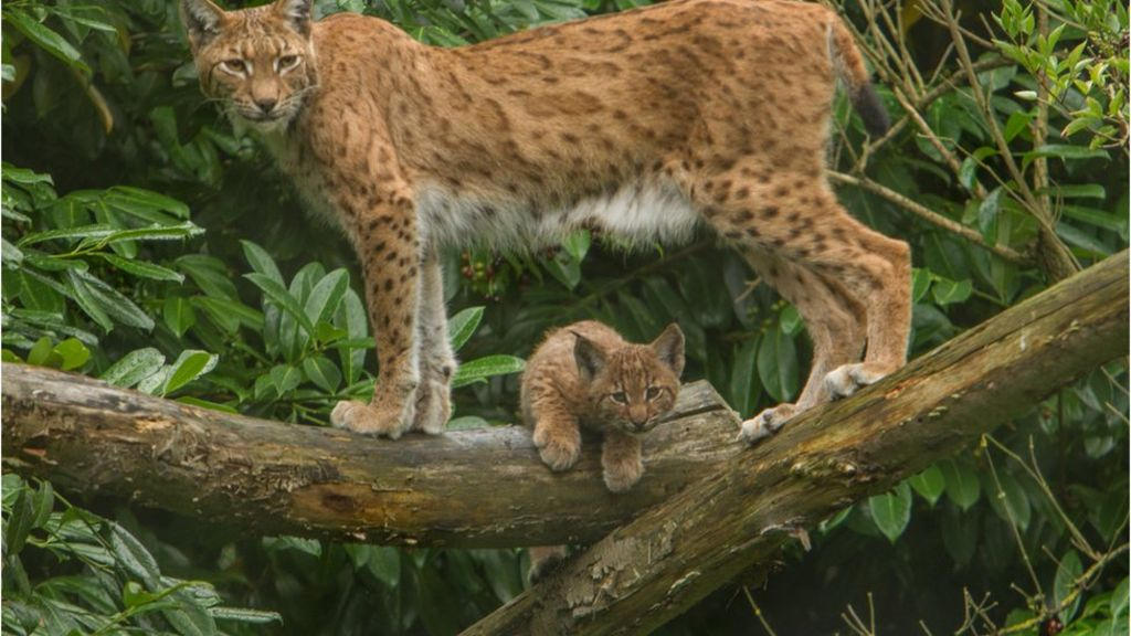 Big cats require GPS tracking, says group after Lynx escape – BBC News